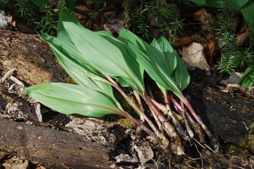 Harvested Ramps