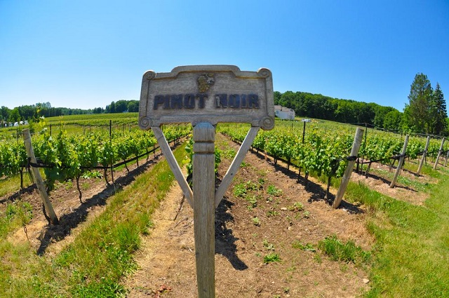 Pinot Noir from the Mountainview Road on the Beamsville Bench.  Photo: William Roman, http://www.rosewoodwine.com/