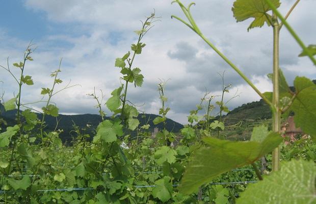 Grand Cru Riesling, Alsace
