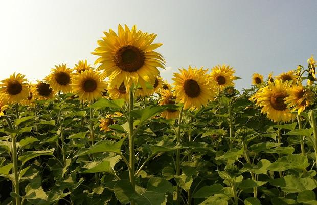 Innisfiil Sunflowers