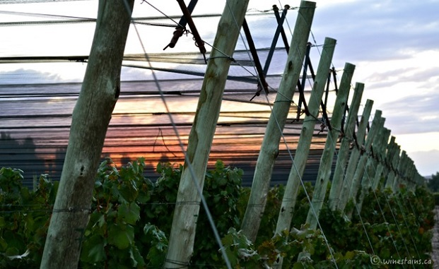 Harvest starts early - the Versado vineyard before sunrise Photo: (Elena Galey-Pride, www.winestains.ca)