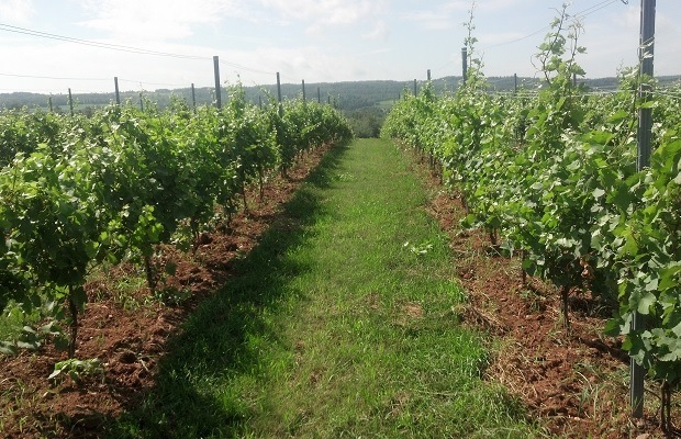 Young Vines in Lightfoot and Wolfville's Oak Knoll Vineyard