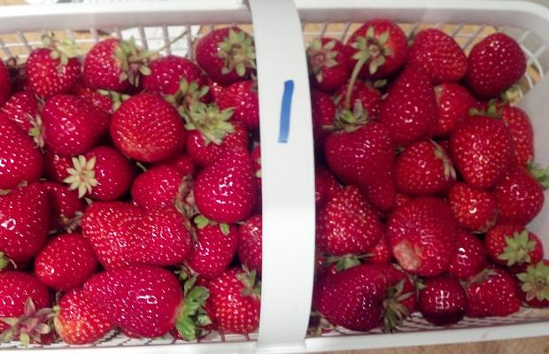 Ontario Everbearing Strawberries