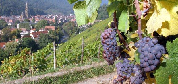Quelques grappes du futur Pinot Gris Grand Cru Rangen Clos Saint-Théobald 2013 (c) https-::www.facebook.com:schoffit: