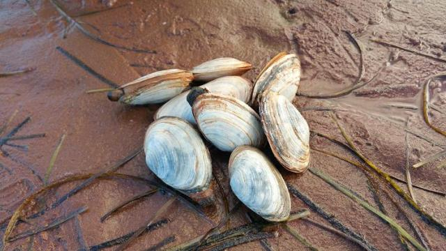Longneck Clams, Malpeque Bay, PEI