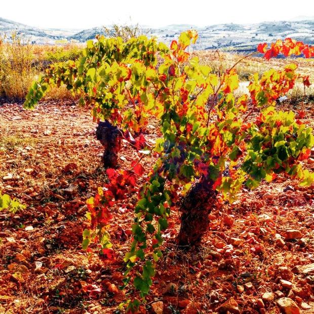 100 year-old #garnatxa vines @docalatayud #vinasviejas