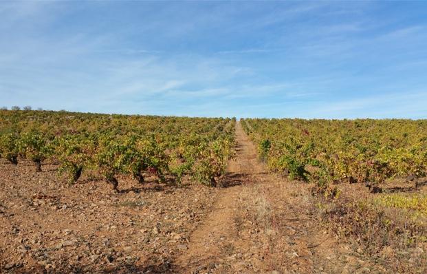 Garancha vines, Calatayud