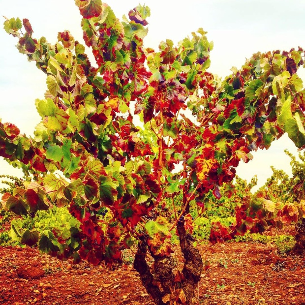 The autumn of old #Cariñena bush vines @DoCarinena #garnachaterroir