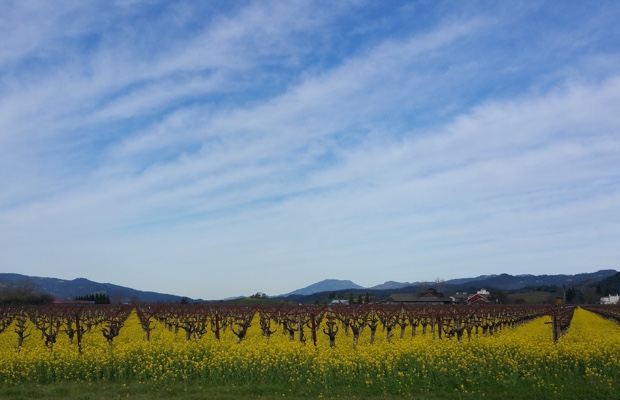 The mustard in Napa Valley