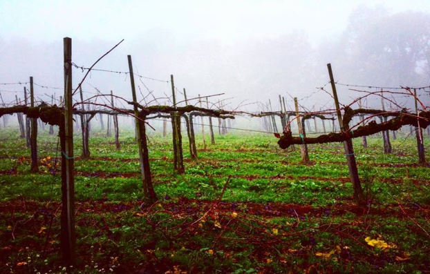 Foggy morning walk through November Chardonnay @bellavistavino #franciacorta #lalbereta