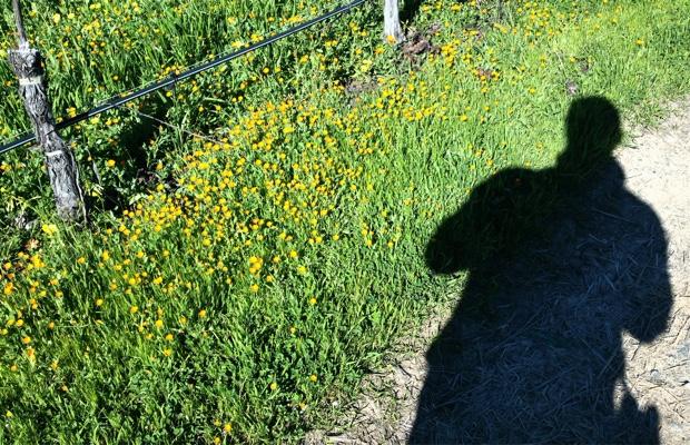 Godello in the Napa Valley mustard