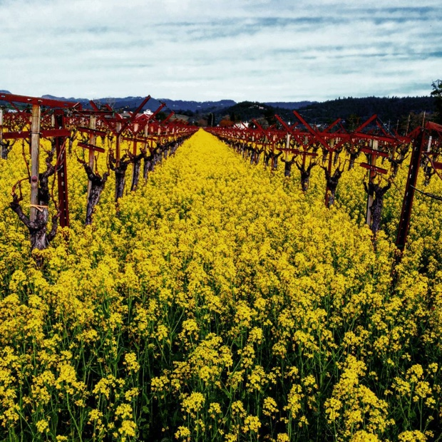 The #napavalley mustard is something else @CalifWines_CA #napa #califwine