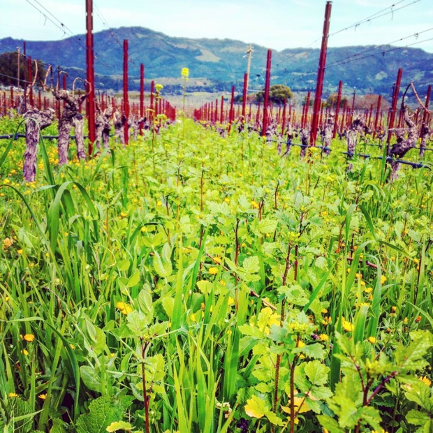 one-vineyards-cover-crop-is-another-mans-salad-laurelglenwine-organics-sonomamountain-cabernetsauvignon-sonoma-california-califwine